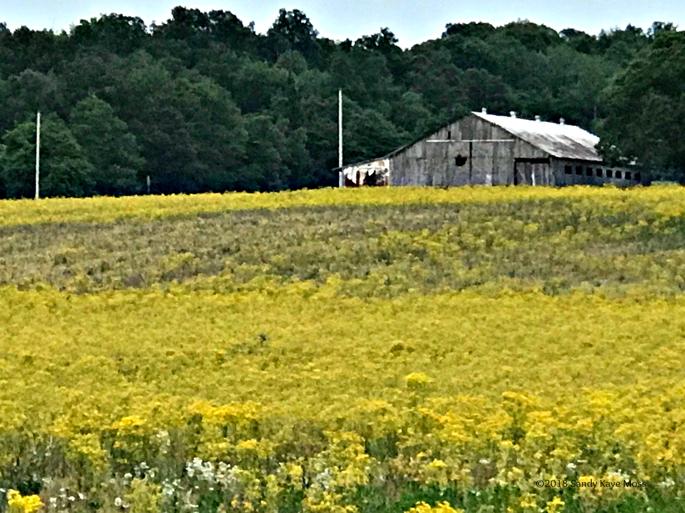 Fields of Coreopsis grow with wild abandon in the spring in Kentucky. Field after field of these flowers keep us company on our Saturday drives. www.sandykayemoss