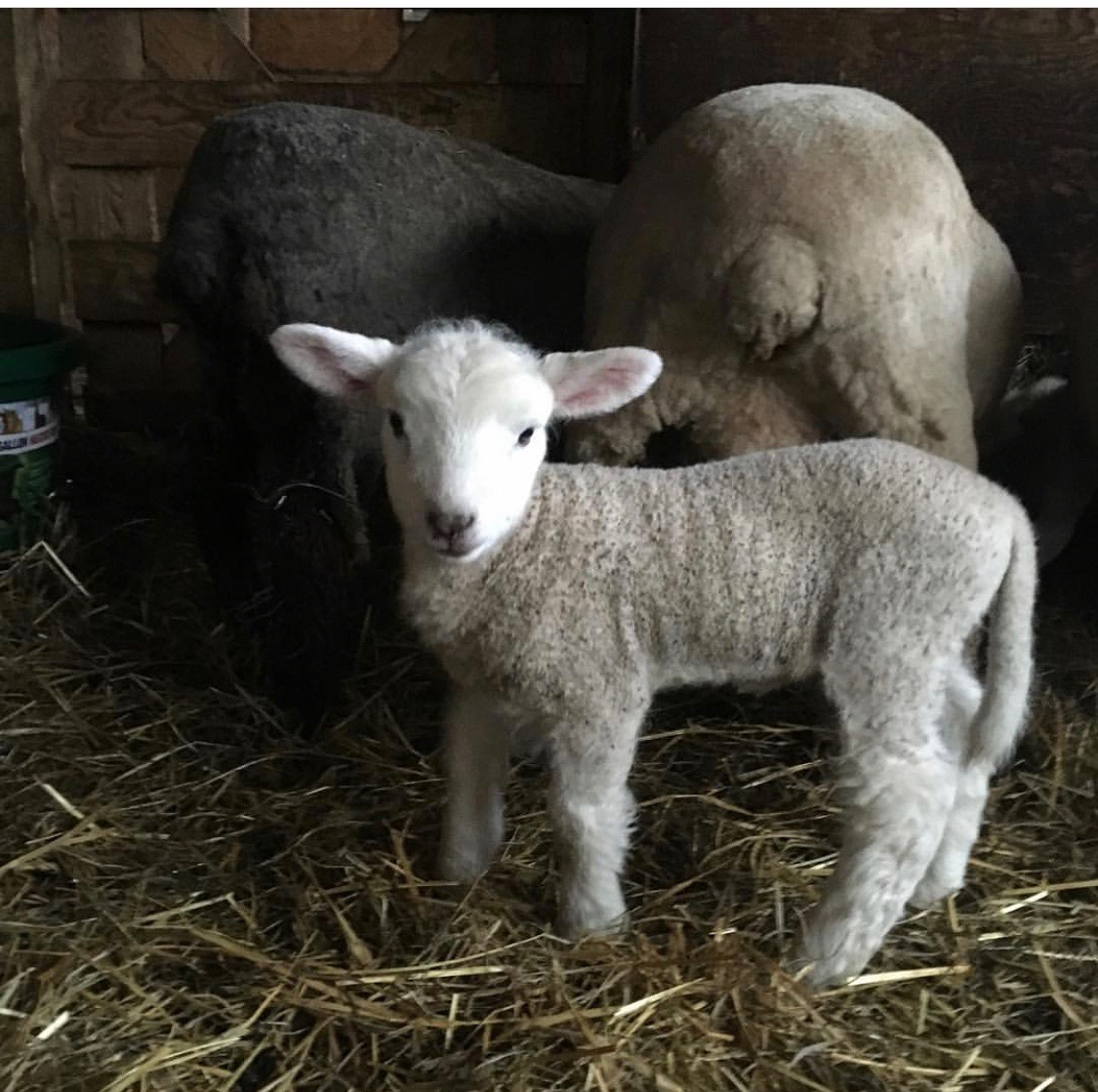 Lamb | Baby sheep | White lamb | New life | Barn animals | www.sandykayemoss.com